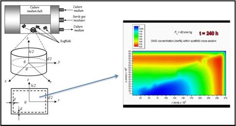 Modelli matematici e simulazione della crescita e della proliferazione cellulare